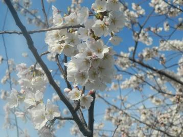 Hudson River_blossom_5